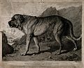 St. Bernard Dog with mountainous background. Etching by T. L Wellcome V0015258.jpg