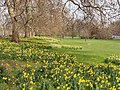 St James's Park with daffodils - geograph.org.uk - 379846.jpg