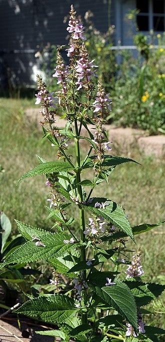 Stachys - Stachys tenuifolia var. hispida