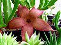 Stapelia flower 03.jpg