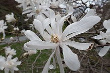 Star magnolia from botanical gardens, Halifax, Nova Scotia