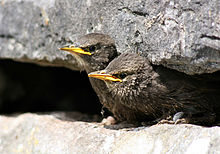 Polluelos a la espera de ser alimentados.