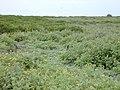 Starr-010520-0048-Verbesina encelioides-habit next to naupaka-Inland-Kure Atoll (24532732705).jpg