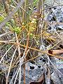 Starr-031108-2117-Cassytha filiformis-habit-Deering Park-Florida (24648827226).jpg