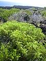Starr-040331-0096-Senna gaudichaudii-habit-Kanaio-Maui (24674248246).jpg