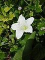 Starr-050223-4316-Coccinia grandis-flower-Popoia-Oahu (24738361105).jpg