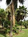 Starr-050407-6255-Pritchardia sp-grove-Maui Nui Botanical Garden-Maui (24377351859).jpg