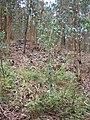 Starr-050815-7400-Rubus niveus-form a habit-Pohakuokala Gulch-Maui (24506049420).jpg