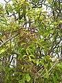 Starr-060429-9463-Charpentiera obovata-panicles-Auwahi-Maui (24567080380).jpg