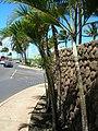 Starr-060922-9128-Chrysalidocarpus lutescens-habit-Kahului Airport-Maui (24772261711).jpg