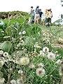 Starr-061017-1197-Conyza bonariensis-habit-Cove Park Kihei-Maui (24240948153).jpg