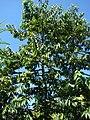 Starr-071024-0354-Cananga odorata-habit-Enchanting Floral Gardens of Kula-Maui (24776558352).jpg