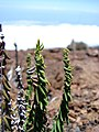 Starr-090504-7270-Pellaea ternifolia-habit-Science City-Maui (24927933986).jpg