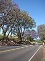 Starr-090513-7512-Jacaranda mimosifolia-flowering habit-King Kekaulike School Pukalani-Maui (24861324851).jpg