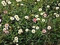Starr-090513-7547-Erigeron karvinskianus-flowers-Polipoli-Maui (24587088149).jpg