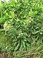 Starr-090629-1991-Oenothera biennis-flowering habit-Crater Rd Kula-Maui (24941433426).jpg