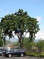 Starr-090818-4464-Pterocarpus indicus-parking lot trees-Kihei-Maui (24879183661).jpg