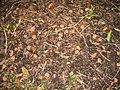 Starr-091104-0877-Vitex parviflora-fruit on ground-Kahanu Gardens NTBG Kaeleku Hana-Maui (24360904153).jpg