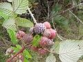 Starr-100616-7133-Rubus niveus-fruit-Waipoli Rd Kula-Maui (24408504784).jpg