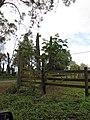 Starr-101130-9600-Montanoa hibiscifolia-flowering habit-Ulupalakua-Maui (24689596769).jpg
