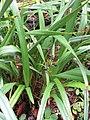 Starr-110307-2199-Dianella sandwicensis-fruiting habit-Kula Botanical Garden-Maui (25051435046).jpg