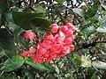 Starr-110330-3774-Ixora sp-flowers-Garden of Eden Keanae-Maui (24450037694).jpg
