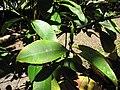 Starr-110330-4209-Garcinia mangostana-leaves-Garden of Eden Keanae-Maui (24988093531).jpg