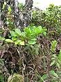 Starr-110722-6531-Polyscias oahuensis-habit-Waihee Ridge Trail-Maui (25007168331).jpg