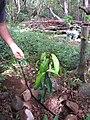 Starr-120229-2774-Syzygium malaccense-planting-Waikapu Valley-Maui (25136049365).jpg