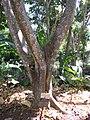 Starr-120522-6049-Syzygium malaccense-trunk-Iao Tropical Gardens of Maui-Maui (24512390954).jpg