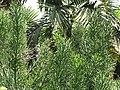 Starr-120522-6202-Euphorbia tirucalli-habit-Iao Tropical Gardens of Maui-Maui (24512633594).jpg