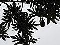 Starr-120606-7005-Artocarpus altilis-leaves-Kahanu Gardens Hana-Maui (25118317096).jpg