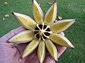 Starr-121108-0777-Clusia rosea-spent seed capsule-Pali o Waipio-Maui (24569396023).jpg