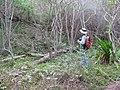 Starr-130319-1829-Cupaniopsis anacardioides-habit with Forest-Kilauea Pt NWR-Kauai (25089887932).jpg