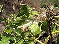 Starr-130617-5000-Cordia subcordata-leaves infested with kou leafworm Ethmia nigroapicella-Kealia Pond NWR-Maui (25185917746).jpg