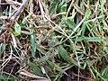 Starr-150327-0385-Setaria verticillata-bristly seedhead-Near Community Garden Sand Island-Midway Atoll (24637440834).jpg