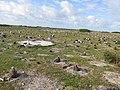 Starr-150328-1750-Coronopus didymus-Laysan Albatrosses-Inland from Pier Eastern Island-Midway Atoll (25243455816).jpg