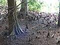 Starr-160717-0172-Taxodium distichum-knees-Green Cay Nature Center Boynton Beach-Florida (29632517096).jpg