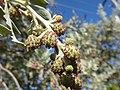 Starr-160717-0239-Conocarpus erectus-fruit-Vitas Healthcare Delray Beach-Florida (29377433290).jpg