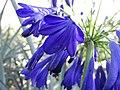 Starr-160906-5178-Agapanthus praecox subsp orientalis-flower dark blue purple variety-Hawea Pl Olinda-Maui (29587186991).jpg