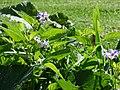 Starr-170224-0930-Solanum muricatum-flowers leaves-Hawea Pl Olinda-Maui (32567114763).jpg