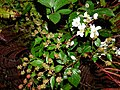 Starr-170520-0724-Rubus argutus-flowers fruit leaves at night-Road to Lower Kula Pipeline Haiku Uka-Maui (35229557425).jpg