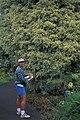 Starr-980529-4268-Ficus benjamina-starlight-Enchanting Floral Gardens of Kula-Maui (24146316409).jpg
