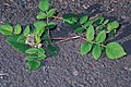 Starr-990119-3226-Rubus niveus-form a fruit-Kula-Maui (24499189566).jpg