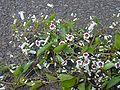 Starr 001101-0044 Paederia foetida.jpg
