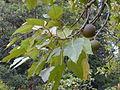 Starr 020803-0118 Aleurites moluccana.jpg