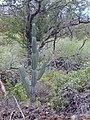 Starr 030202-0052 Cereus uruguayanus.jpg