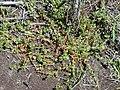 Starr 030222-0073 Anagallis arvensis.jpg