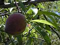 Starr 030418-0137 Prunus persica.jpg