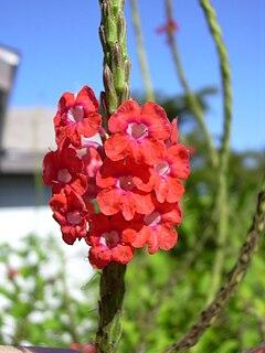 <i>Stachytarpheta mutabilis</i> species of plant